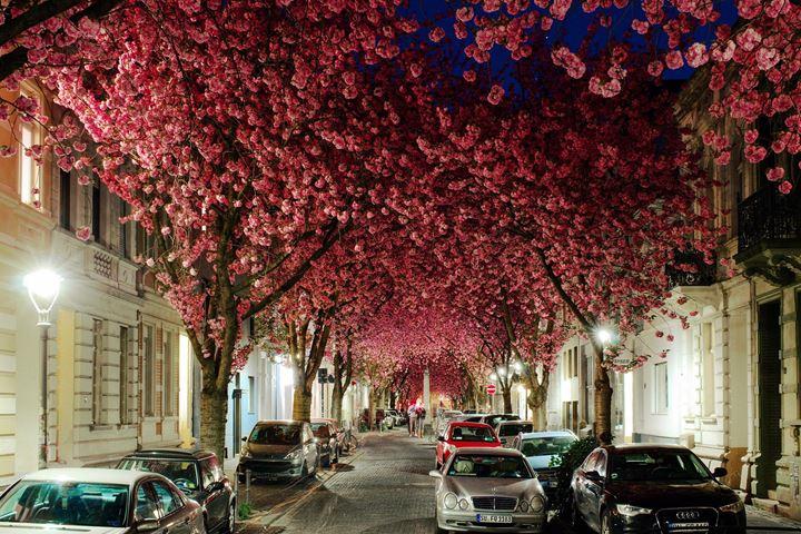 1-cherry-blossoms.medium