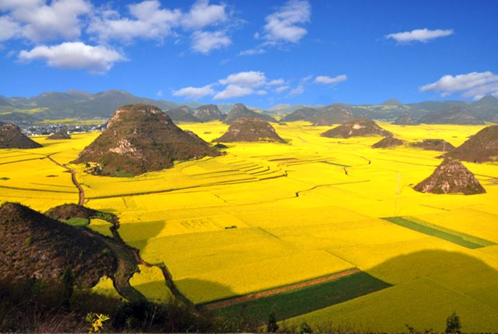 CHINA-AGRICULTURE-RAPESEED