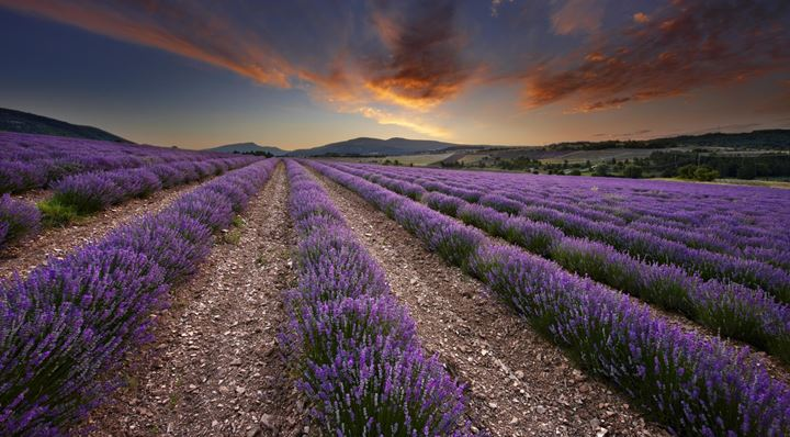 8650_lavender_field_at_dawn_vaucluse_provence_france