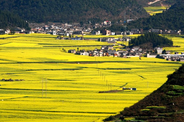 Canola-Flower-Fields-China