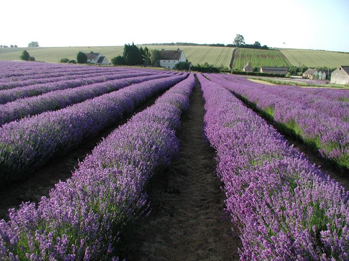 Lavender Fields from Cotswold Lavender