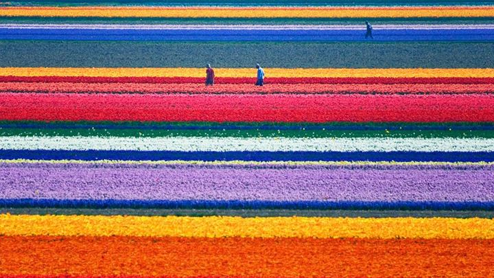 Natural-Tulip-flower-farm