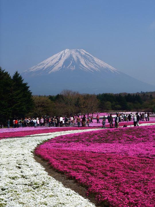Shibazakura-Flowers-Takinoue-Park-Japan-1