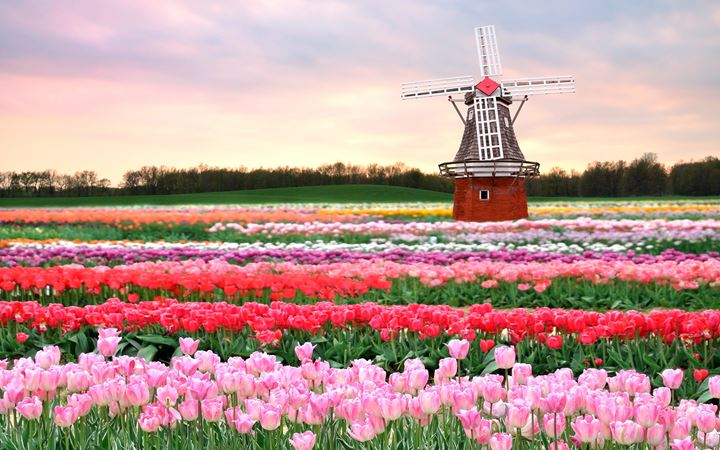 Tulips-field-Holland