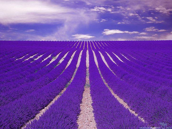 amazing-lavender-field-hd-wallpaper-40325