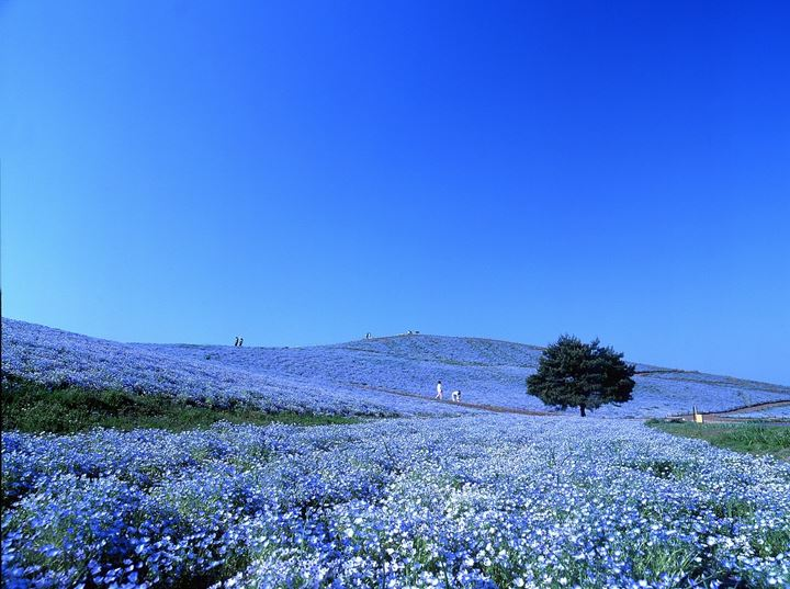 hitachi-seaside-park-nemophila