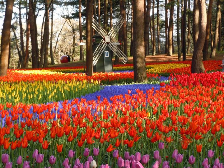 hitachi-seaside-park-tulips-031