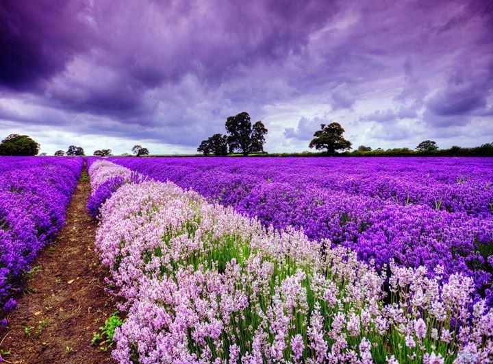 lavender-field-in-france-hd-wallpaper-71290
