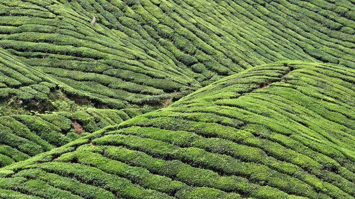 tea-fields-on-huangshan-mountains-china-1142